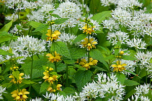 Ramsons (Allium ursinum) growing among Yellow Archangel (Lamium galeobdolon)  Norfolk, May  -  Ernie  Janes