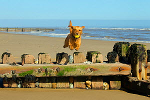 Yellow Labrador jumping breakwater, Norfolk. April  -  Ernie Janes,Ernie  Janes