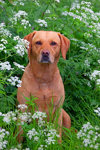 Yellow Labrador portrait in wild flowers. - Ernie  Janes