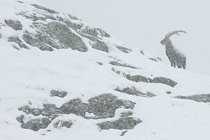 Alpine ibex (Capra ibex) in snowing conditions, the Alps, Gran Paradiso National Park, Italy. October 2008 - Orsolya Haarberg,Orsolya  Haarberg