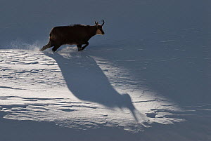 Chamois (Rupicapra rupicapra) walking, casting shadow on the snow, Alps, Gran Paradiso National Park, Italy. November 2008  -  Orsolya  Haarberg