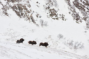 Muskox (Ovibus moschatus) herd, in the Dovrefjell-Sunndalsfjella National Park, Norway. February - Orsolya Haarberg,Orsolya  Haarberg