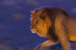 Male African lion (Panthera leo) at night, Kalahari Desert, Botswana.  -  Juan  Carlos Munoz