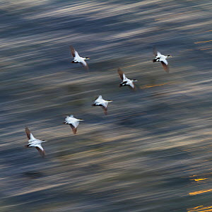 Group of male Common eiders (Somateria mollissima) in flight, Iceland, June. - Juan  Carlos Munoz