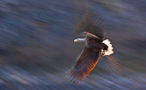 White-tailed eagle (Haliaeetus albicilla) in flight, Norway, April - Juan Carlos Munoz,Juan  Carlos Munoz
