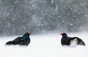 Two male Black grouse (Lyrurus tetrix) displaying at lek, Kuusamo, Finland, April.  -  Markus Varesvuo,Markus Varesvuo
