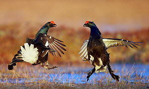 Two male Black grouse (Lyrurus tetrix) displaying at lek, Utajarvi, Finland, April. - Markus Varesvuo,Markus Varesvuo