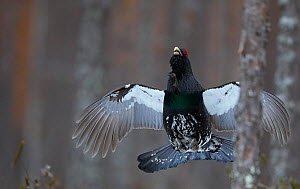 Male Capercaillie (Tetrao urogallus) flying in woodland, Vaala, Finland, April. - Markus Varesvuo
