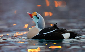 Male King eider (Somateria spectabilis) displaying, Norway, February. - Markus Varesvuo,Markus Varesvuo