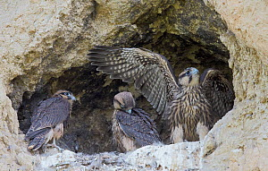 Three juvenile Lanner falcons (Falco biarmicus) in nest, Sicily, Italy, May.  -  Markus Varesvuo