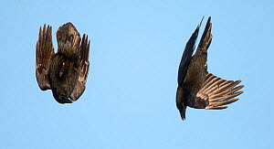 Pair of Common ravens (Corvus corax) displaying, Vardo, Norway, March.  -  Markus Varesvuo,Markus Varesvuo