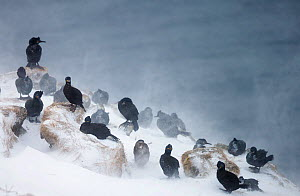 Flock of Common shags (Phalacrocorax arostotelis) resting on a cliff, with wind blown snow, Vardo, Norway, March.  -  Markus Varesvuo