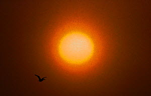 Common shag (Phalacrocorax aristotelis) flying, with the sun in the background, Vardo, Norway, March.  -  Markus Varesvuo