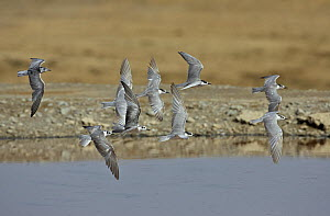 Mixed flock of Whiskered terns (Chlidonias hybridus) and White-winged black terns (Chlidonias leucopterus), Hungary, March.  -  Markus Varesvuo
