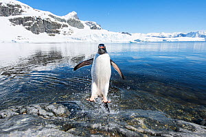 Gentoo Penguin (Pygoscelis papua) coming in from the sea, Cuverville Island, Antarctic Peninsula, Antarctica - Ben Cranke,Ben  Cranke