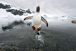 Gentoo Penguin (Pygoscelis papua) jumping out of the sea, Cuverville Island, Antarctic Peninsula, Antarctica. Highly commended in the Single Species Portfolio of the Terre Sauvage Nature Images Awards... - Ben Cranke,Ben  Cranke