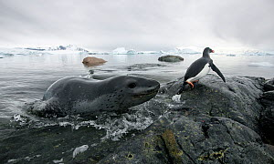 Leopard seal (Hydrurga leptonyx) hunting Gentoo Penguin (Pygoscelis papua) into shore, Cuverville Island, Antarctic Peninsula, Antarctica. Highly honoured in the Wildlife category of Nature's Best Pho...  -  Ben  Cranke