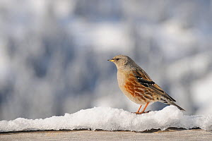 Alpine accentor (Prunus collaris) perched on a snow-covered hand-rail at an alpine chalet, with snow-covered mountain slopes and trees in the background, Hauteluce, Savoie, France, January.  -  Nick Upton