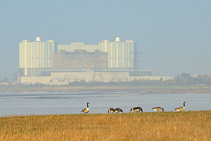 Canada geese (Branta canadensis) grazing saltmarshes fringing the Severn estuary with Oldbury on Severn nuclear power station in the background, Gloucestershire, UK, March.  -  Nick Upton