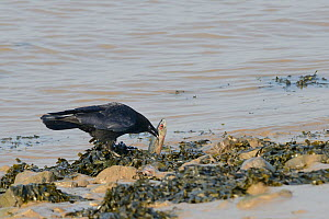 Carrion crow (Corvus corone) scavenging on a dead Mackerel (Scomber scombrus) washed up on the tideline, Severn estuary, Somerset, UK, March.  -  Nick Upton