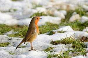 European robin (Erithacus rubecula) standing upright in a territorial threat display in a meadow among patchy snow, Wiltshire, UK, January. - Nick Upton