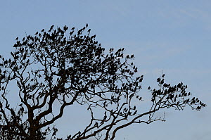 Starlings (Sturnus vulgaris) silhouetted at a pre-roost in a leafless Ash tree (Fraxinus excelsior), Shapwick, Somerset, UK, December.  -  Nick Upton
