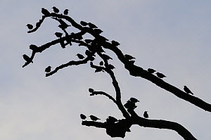 Starlings (Sturnus vulgaris) silhouetted at a pre-roost on dead bramnches of an Ash tree (Fraxinus excelsior), Shapwick, Somerset, UK, December.  -  Nick Upton