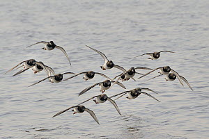 Turnstone (Arenaria interpres) flock flying low over the Severn estuary, after leaving their roost as the tide falls, Somerset, UK, March. - Nick Upton
