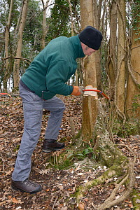 Backwell Enviroment Trust volunteer coppicing young tree with a saw to increase biodiversity and to improve the habitat for Hazel Dormice (Muscardinus avellanarius) in woodland near Bristol, Somerset,... - Nick Upton