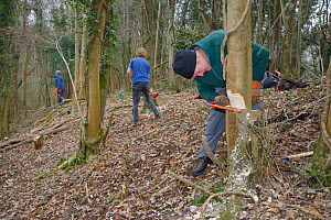 Three Backwell Enviromental Trust volunteers coppicing young trees using hand saws and axes to increase biodiversity and to improve the woodland habitat for Hazel Dormice (Muscardinus avellanarius) ne... - Nick Upton