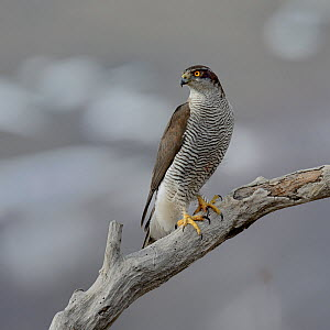 Northern Goshawk(Accipiter gentilis) on a branch, Bulgaria, February  -  Loic Poidevin,Loic  Poidevin