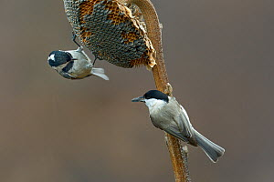 Coal tit (Periparus ater) and Willow tit (Poecile montanus) feeding on  Sunflower seeds (Helianthus annuus) Bulgaria, February  -  Loic  Poidevin