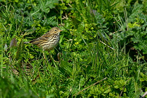 Meadow Pipit (Anthus rubescens) West France, Vendée, january  -  Loic  Poidevin