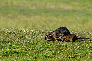 Coypu (Myocastor coypus) mother and baby Breton Marsh, West France - Loic  Poidevin