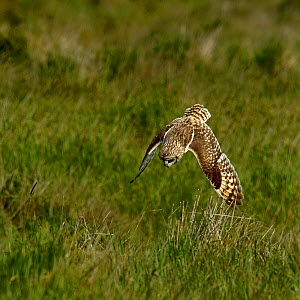 Short-eared Owl (Asio flammeus) diving at prey, Breton Marsh, West France, April  -  Loic Poidevin,Loic  Poidevin
