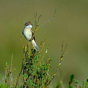 Common Whitethroat (Sylvia communis) on a branch, Vendée, West France, April  -  Loic  Poidevin