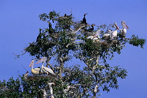Spot-billed pelicans (Pelecanus phillippensis) and Great cormorants (Phalocrocorax carbo) nesting in tree, Prek Toal Bird Reserve, Tonle Sap, Cambodia  -  Terry Whittaker