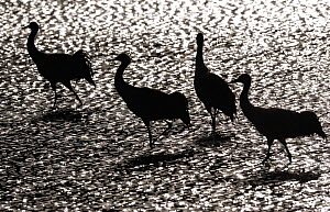 Black-necked crane (Grus nigricollis) in black and white silhoutte. Napa Lake, Yunnan province, China. Vulnerable species.  -  Staffan Widstrand / Wild Wonders of China