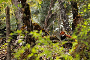 Red panda (Ailurus fulgens) in the forest zone, right under the Meili Snow Mountain, near the Minyong glacier, Meili Snow Mountain National Park, Yunnan, China  -  Staffan Widstrand / Wild Wonders of China