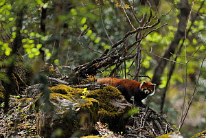 Red Panda (Ailurus fulgens) in forest, Meili Snow Mountain NP, Yunnan, China  -  Staffan Widstrand / Wild Wonders of China