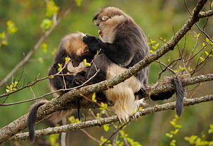 Yunnan Snub-nosed monkey (Rhinopithecus bieti) grooming a mother with a baby, Ta Chen NP, Yunnan province, China - Staffan Widstrand / Wild Wonders of China