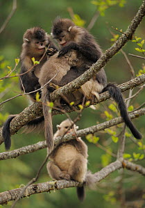 Yunnan Snub-nosed monkey (Rhinopithecus bieti) group, with two adults grooming a youngster, whilst another young one looks on, Ta Chen NP, Yunnan province, China - Staffan Widstrand / Wild Wonders of China