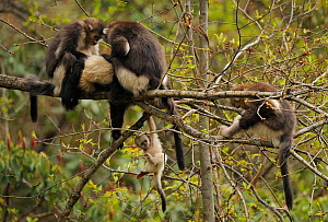 Yunnan Snub-nosed monkey (Rhinopithecus bieti) group with adults grooming, and a baby hanging from a branch, Ta Chen NP, Yunnan province, China - Staffan Widstrand / Wild Wonders of China