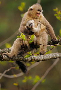 Yunnan Snub-nosed monkey (Rhinopithecus bieti) mother and baby, Ta Chen NP, Yunnan province, China - Staffan Widstrand / Wild Wonders of China