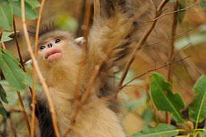 Yunnan Snub-nosed monkey (Rhinopithecus bieti) Ta Chen NP, Yunnan province, China - Staffan Widstrand / Wild Wonders of China