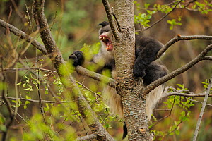 Yunnan Snub-nosed monkey (Rhinopithecus bieti) baring teeth, Ta Chen NP, Yunnan province, China - Staffan Widstrand / Wild Wonders of China