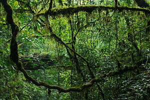 Lianas in the subtropical rainforest, Gaoligongshan NP, Yunnan province, China  -  Staffan Widstrand / Wild Wonders of China