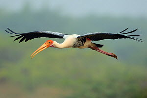 Painted storks (Mycteria leucocephala) in flight, Pulicat Lake, Tamil Nadu, India, January 2013.  -  Staffan Widstrand