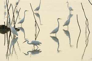Great white egrets (Casmerodius albus) reflected in Pulicat Lake, Tamil Nadu, India, January 2013.  -  Staffan Widstrand,Staffan Widstrand
