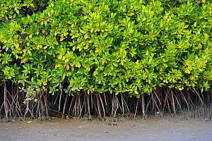 RF- Mangrove (Rhizophora) roots, Pulicat Lake, Tamil Nadu, India, January. (This image may be licensed either as rights managed or royalty free.) - Staffan Widstrand